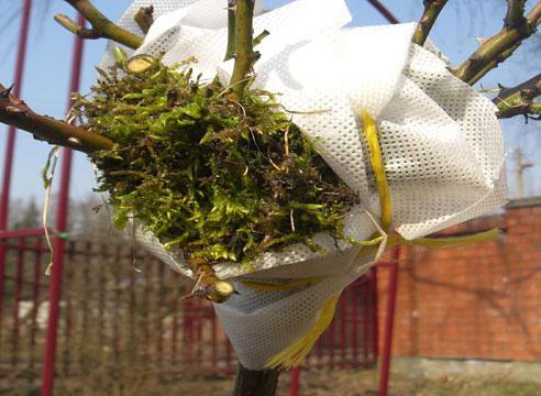 Особенности посадки штамбовых роз