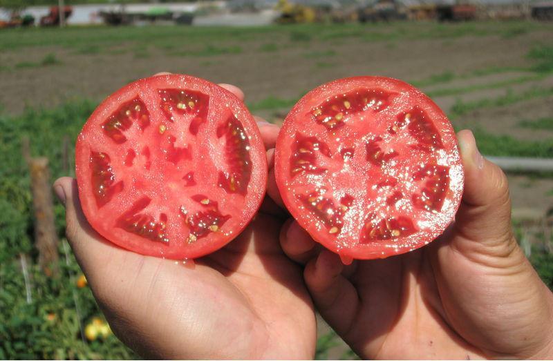Семена томата в домашних условиях